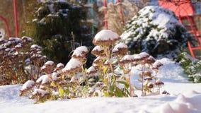 zima śnieżna, mroźny, słoneczny dzień w górę, wiecznie kwitnie zieleń, krzaki, na flowerbed w ogródzie chującym pod a zbiory wideo