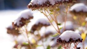 zima śnieżna, mroźny, słoneczny dzień w górę, wiecznie kwitnie zieleń, krzaki, na flowerbed w ogródzie chującym pod a zbiory
