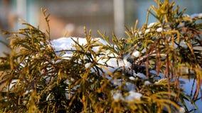 zima śnieżna, mroźny, słoneczny dzień w górę, wiecznie zieleni krzaki na flowerbed w ogródzie chującym pod gęstą warstwą, zbiory wideo