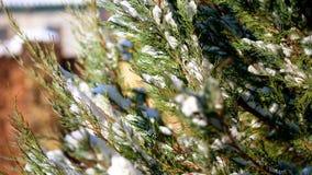 zima śnieżna, mroźny, słoneczny dzień w górę, wiecznie zieleni tuja krzaki na flowerbed w ogródzie chującym pod gęstym, zbiory