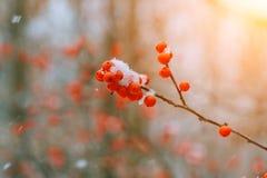 Zima ashberry pod śniegiem Zdjęcia Royalty Free