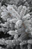 Zima bieleje swój kolory świerkowych obraz royalty free
