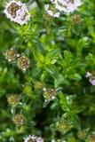Zima cząberu roślina Zdjęcia Royalty Free