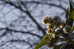 Zima drzewny kwiat Obraz Royalty Free