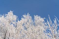Zima Gałąź drzewa i krzaki w śniegu Obraz Royalty Free
