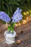 Zima hiacynt Zdjęcie Royalty Free