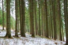 Zima iglasty las zdjęcie stock
