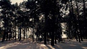 Zima iglasty las w słońcu przy zmierzchem zdjęcie wideo