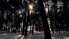 Zima iglasty las w słońcu przy zmierzchem zbiory wideo