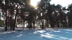Zima iglasty las w słońcu przy zmierzchem zbiory