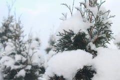 Zima jałowiec Obraz Stock