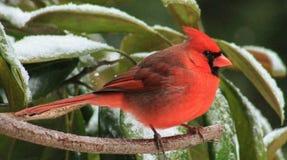 Zima kardynał 9 Obraz Royalty Free