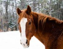 Zima koń Obraz Royalty Free