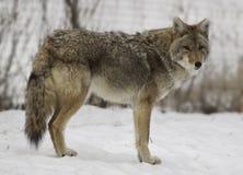 Zima kojot Zdjęcia Stock
