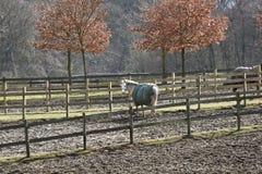 Zima koni denmak Obrazy Stock