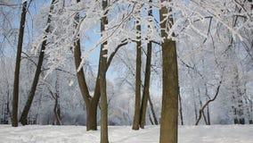 Zima krajobraz - śnieżysty park z pięknymi drzewami, zakrywającymi z hoarfrost zbiory wideo