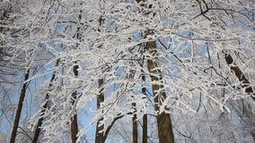 Zima krajobraz - śnieżysty park z pięknymi drzewami, zakrywającymi z hoarfrost zdjęcie wideo