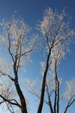 Zima krajobraz - mroźni drzewa w śnieżnym lesie w pogodnym ranku Zdjęcie Royalty Free
