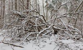 Zima krajobraz naturalny las z nieżywymi brzoz drzewami obraz stock