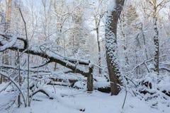 Zima krajobraz naturalny las z nieżywymi dębowymi drzewami Obrazy Royalty Free