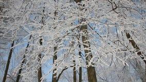 Zima krajobraz - piękni drzewa, zakrywający z hoarfrost, przeciw tłu jaskrawy niebieskie niebo zdjęcie wideo