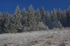 Zima krajobraz z śnieżnymi sosnami Obrazy Stock