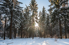 Zima krajobraz z świeżym czystym śniegiem, słońcem i choinkami, Obrazy Royalty Free