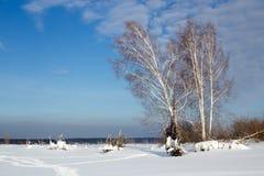 Zima krajobraz z brzozami przeciw niebieskiemu niebu w Rosja Fotografia Royalty Free