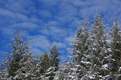 Zima krajobraz z sosnami Obraz Stock