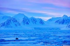 Zima krajobraz z zwierzęciem Morsy, Odobenus rosmarus, wtykają out od błękitne wody na bielu lodzie z śniegiem, Svalbard, Norwegi Fotografia Royalty Free