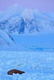 Zima krajobraz z zwierzęciem Morsy, Odobenus rosmarus, wtykają out od błękitne wody na bielu lodzie z śniegiem, Svalbard, Norwegi Obraz Stock
