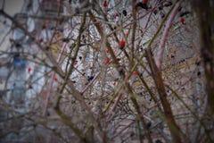 Zima krzak dogrose w obszarze zamieszkałym Zdjęcie Royalty Free
