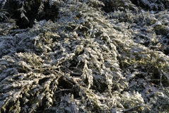 Zima krzaki Zdjęcie Royalty Free