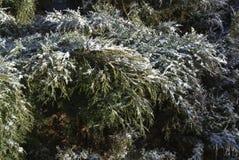 Zima krzaki Obrazy Royalty Free
