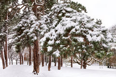 Zima las. Zdjęcia Stock