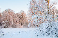Zima las, Hoarfrost i Oszrania na drzewach Zdjęcie Royalty Free