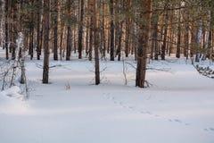 Zima las pod śniegiem Drewno w Syberia w zimie Drewno w Rosja w zimie Obraz Stock