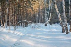 Zima las pod śniegiem Drewno w Syberia w zimie Drewno w Rosja w zimie Fotografia Royalty Free
