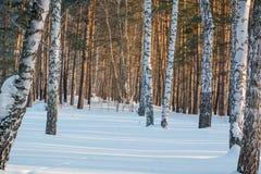 Zima las pod śniegiem Drewno w Syberia w zimie Drewno w Rosja w zimie Obrazy Stock