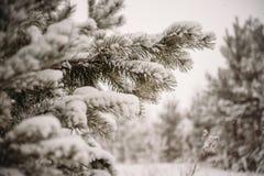 Zima las, sosna Obrazy Royalty Free