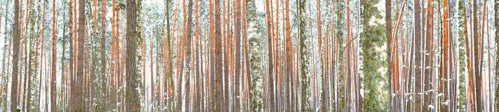 Zima las, sosna Zdjęcie Stock