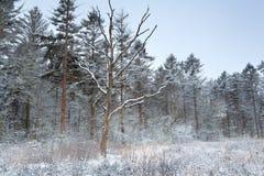 Zima las w śniegu Zdjęcie Royalty Free