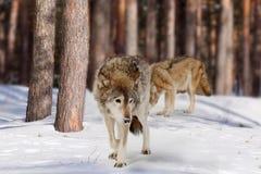 zima lasowi wilki zdjęcia royalty free