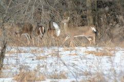 Zima lasu Whitetail rogacz Zdjęcie Royalty Free