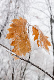 Zima liście zakrywający z śniegiem i hoarfrost Zdjęcia Royalty Free