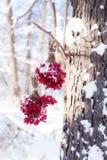 Zima Marznący Viburnum Pod śniegiem Viburnum w śniegu Jesień i śnieg Piękna zima Zima wiatr Sople mróz Zdjęcia Stock