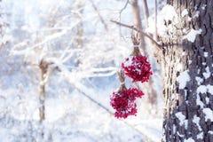Zima Marznący Viburnum Pod śniegiem Viburnum w śniegu Jesień i śnieg Piękna zima Zima wiatr Sople mróz Zdjęcie Stock