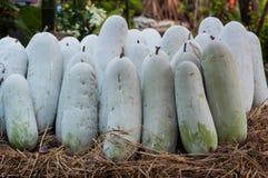 Zima melon (Benincasa hispida) Zdjęcie Stock