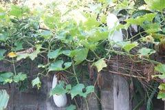 Zima melonu roślina Fotografia Royalty Free