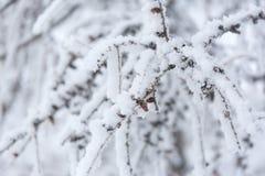 Zima mróz rozgałęzia się śnieg i lód zakrywających tło płatków śniegu biały niebieska zima zdjęcia royalty free